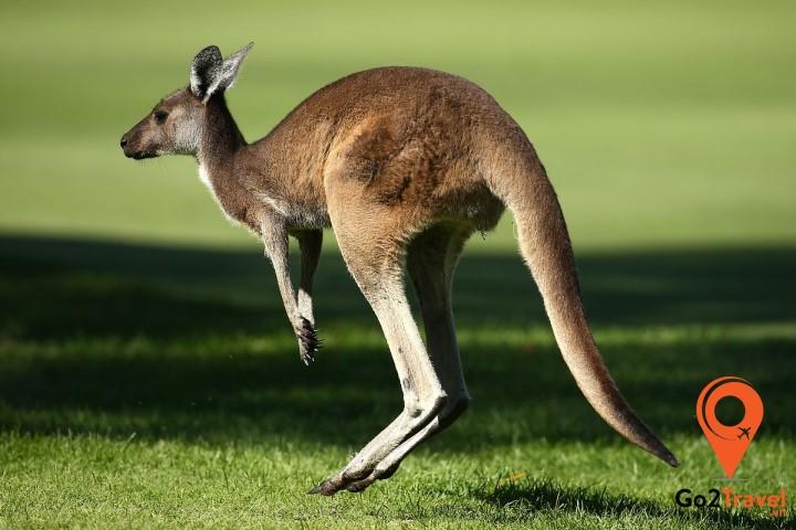 Kangaroo là đặc trưng của nước Úc