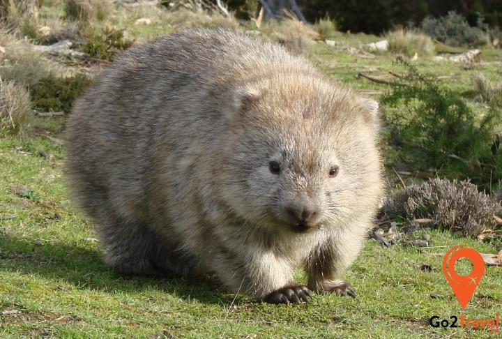 Gấu túi mũi trần Wombat
