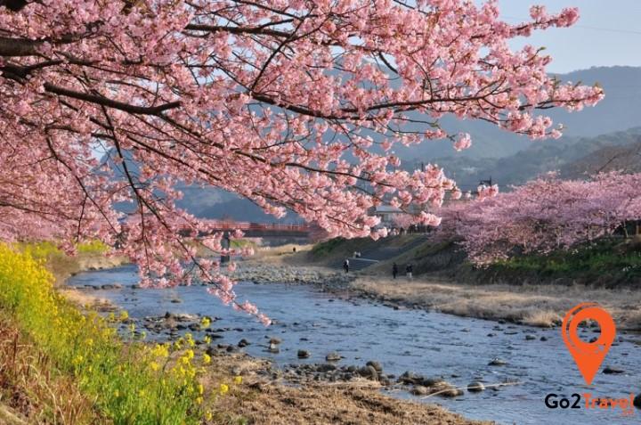 Du khách chiêm ngưỡng vẻ đẹp hoa anh đào nở sớm tại Kawazu