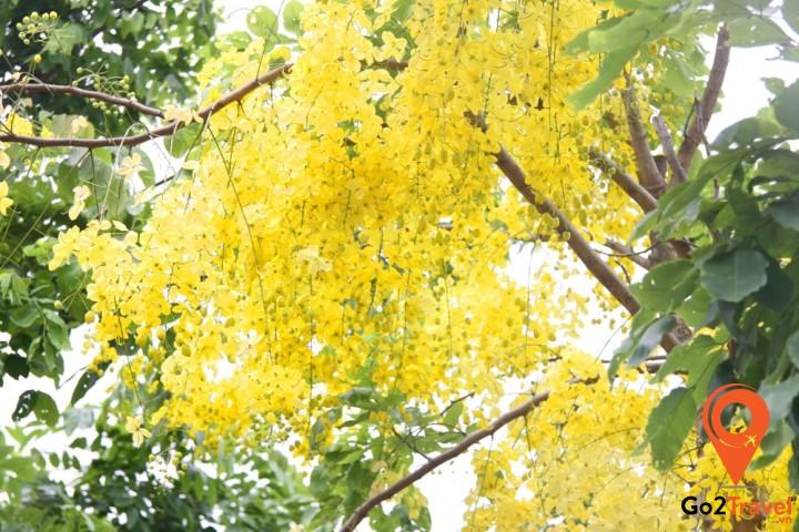 Hoa muồng hoàng yến rực rỡ sắc vàng