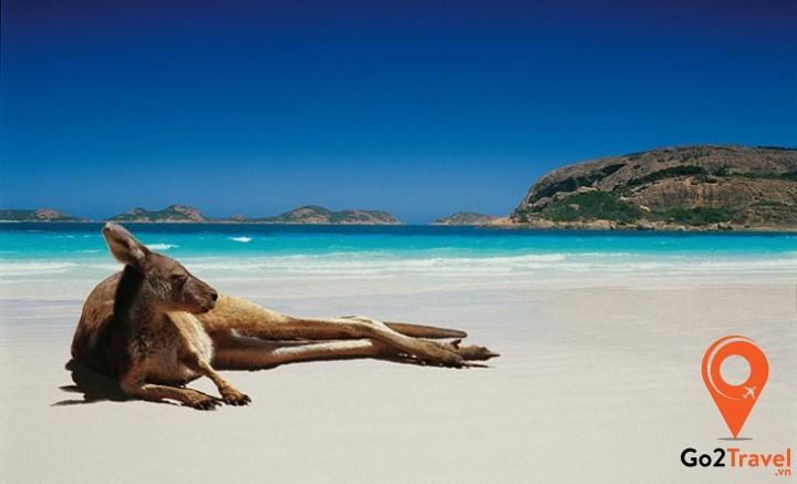 Kangaroo - loài động vật đặc trưng của Úc