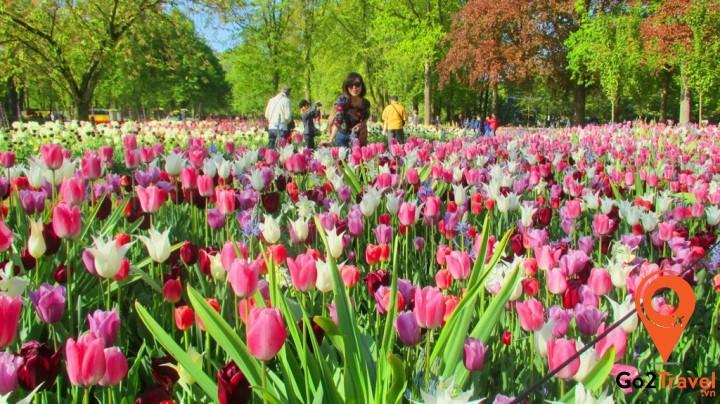 Tulip có gốc Thổ Nhĩ Kỳ nhưng lại nổi tiếng và rực rỡ nhất ở đất nước Hà Lan với vườn hoa Keukennhof
