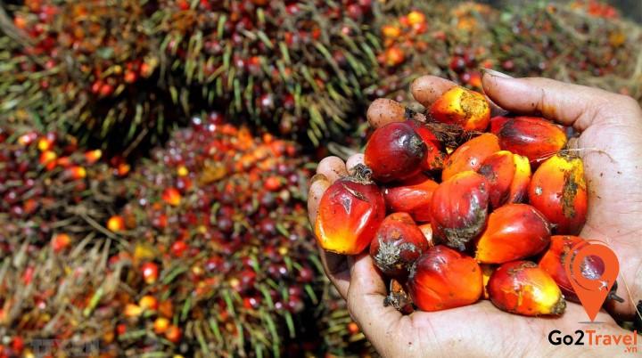 Cây cọ dầu thường được trồng ở khu vực duyên hải Tây Nam